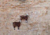 chèvres sur des falaises