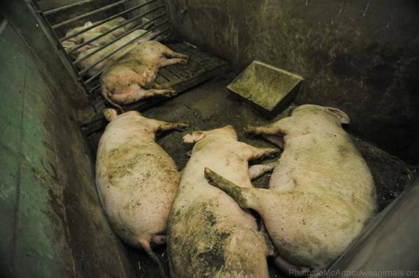 arrêter de manger du porc