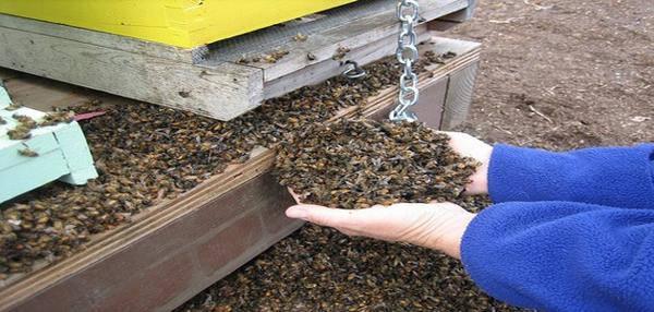 abeilles retrouvées mortes