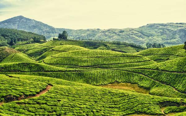 thé vert est la boisson