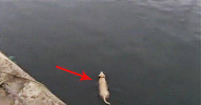 Ce chien nage