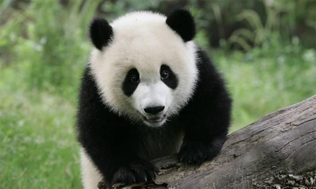 giant_panda Panda géant