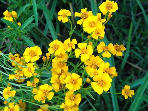 plantes-légales (3)