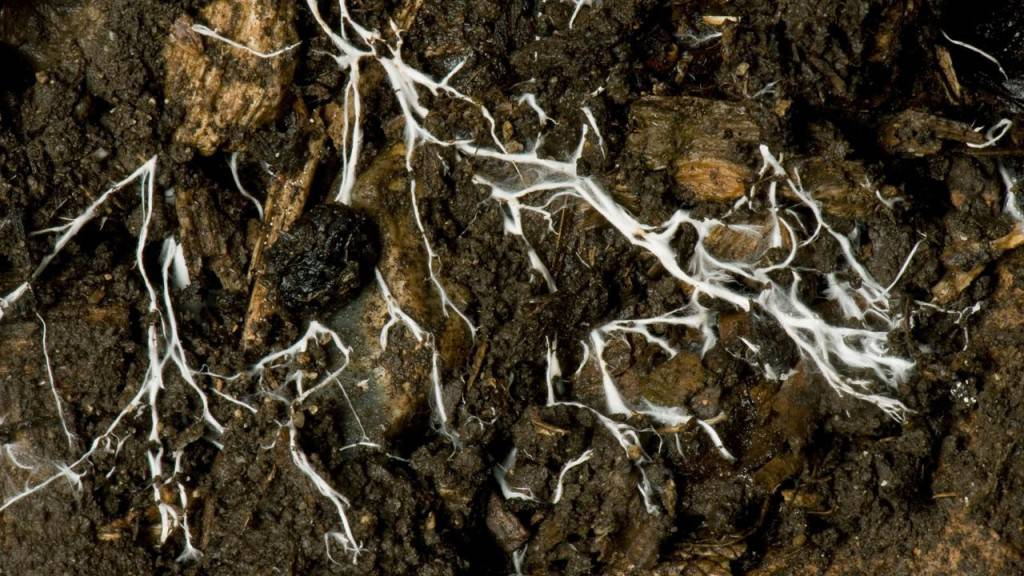 D52RCW Branching threads of fungus mycelium in organic soil