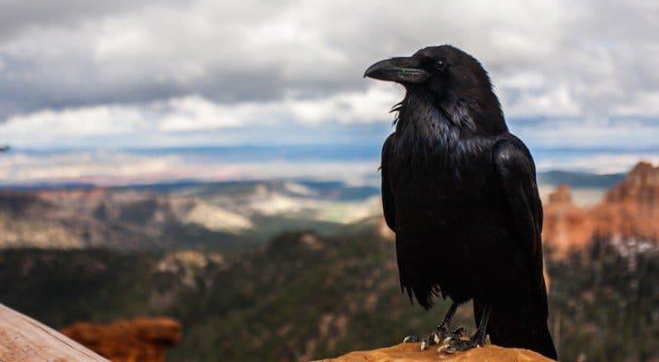 des corbeaux