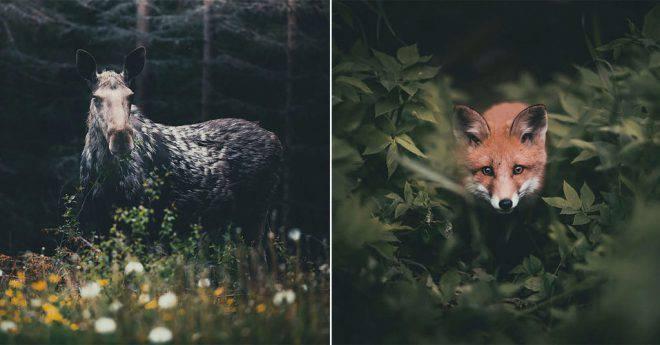Konsta Punkka est un photographe animalier Finlandais qui capture la vie quotidienne de certaines des créatures de la forêt les plus capricieuses de la Terre.