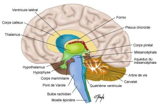b2f7306926_50034483_cerveau-colvir