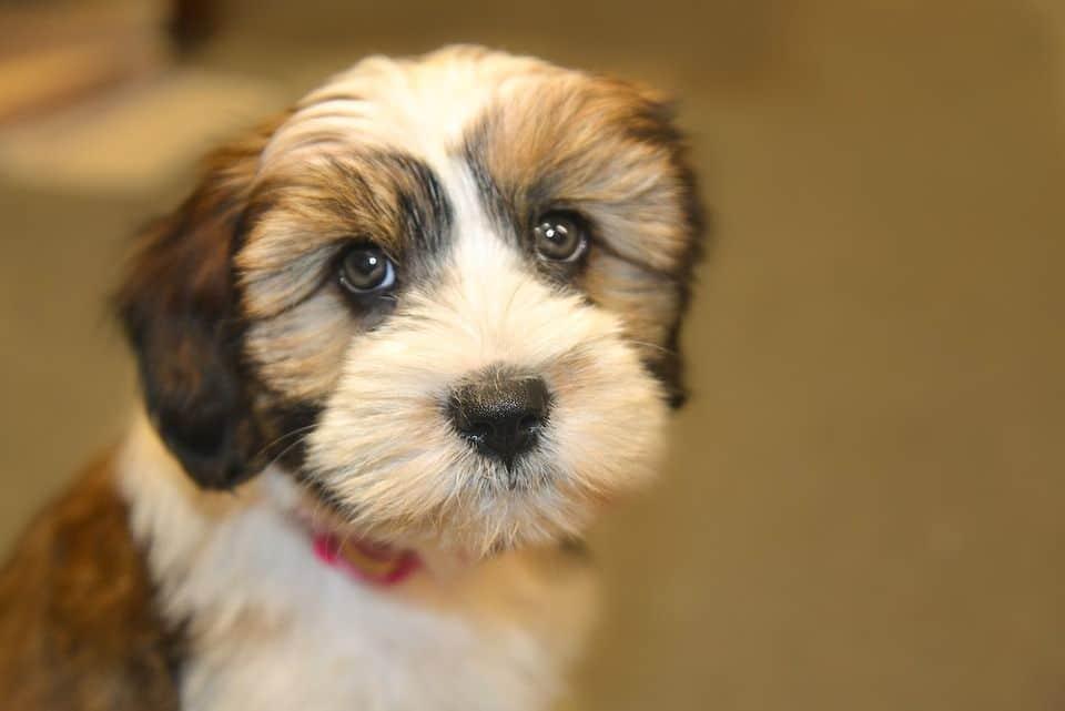 Tibet Terrier, Mignon, Animal De Compagnie, Chien