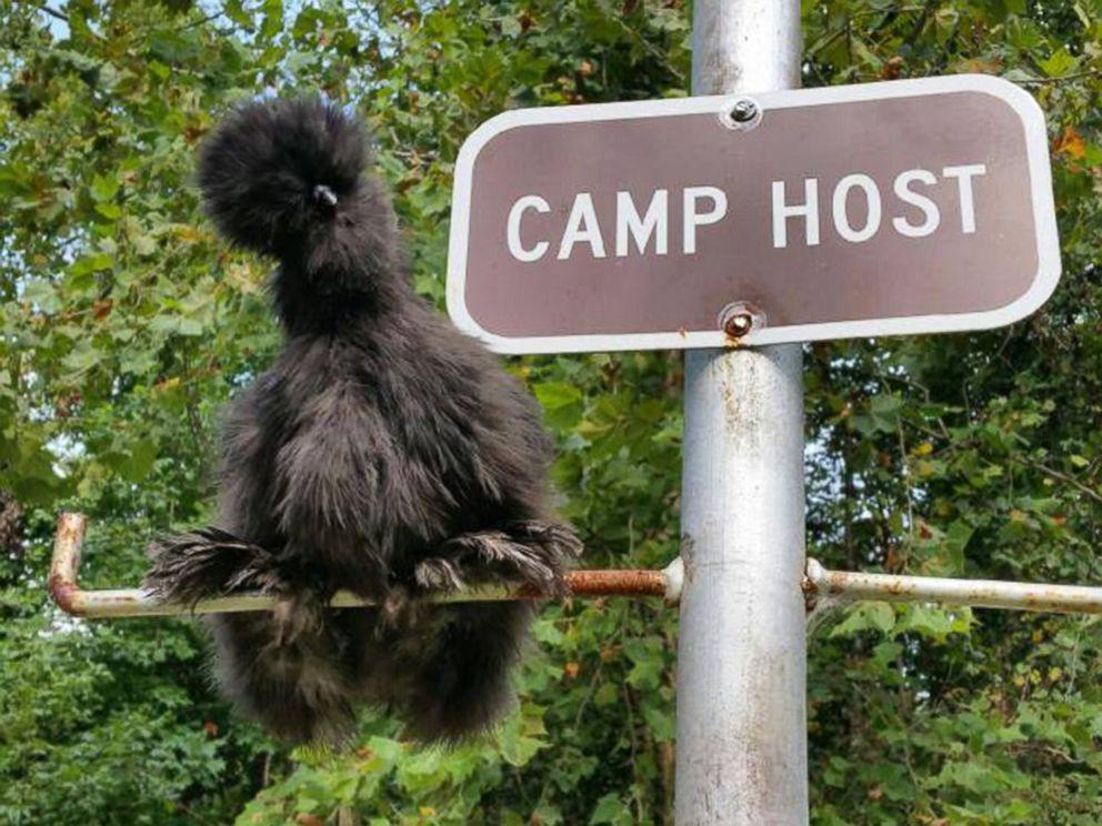 Cette poule noire est persuadée d'être un chien, donc sa maîtresse la traite comme si elle en était un