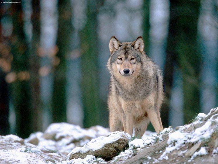 reserve-de-loups-4