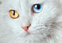 Symbolisme du chat blanc