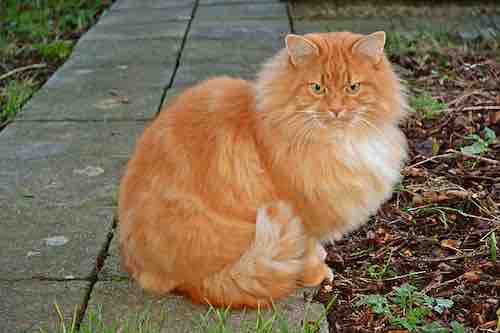 signification Chat roux