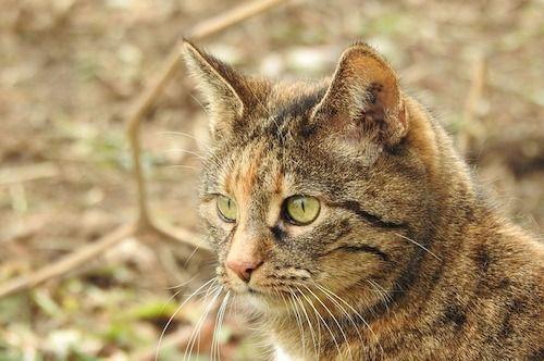 signification du chat brun clair