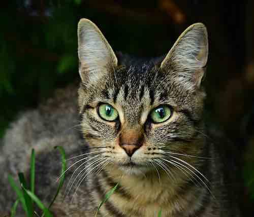 Signification chat tigré gris