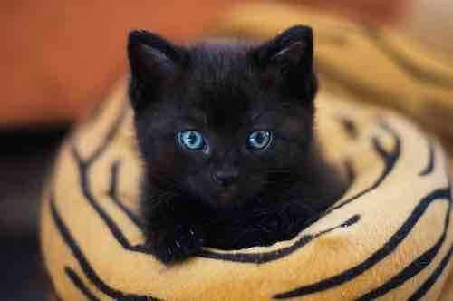 Animal totem du chat noir