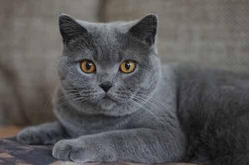 chat bleu-gris