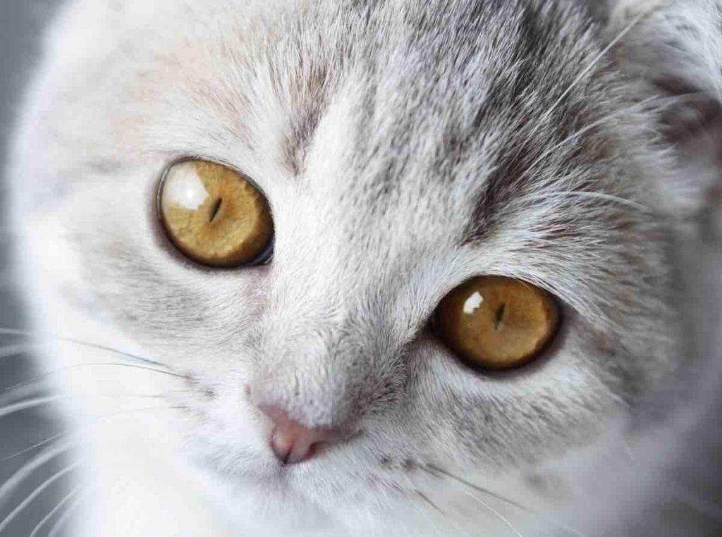 Symbolisme du chat gris clair