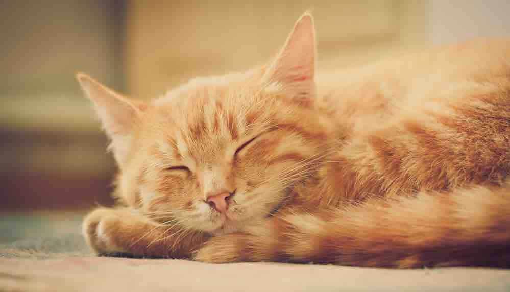 Chat tigré roux