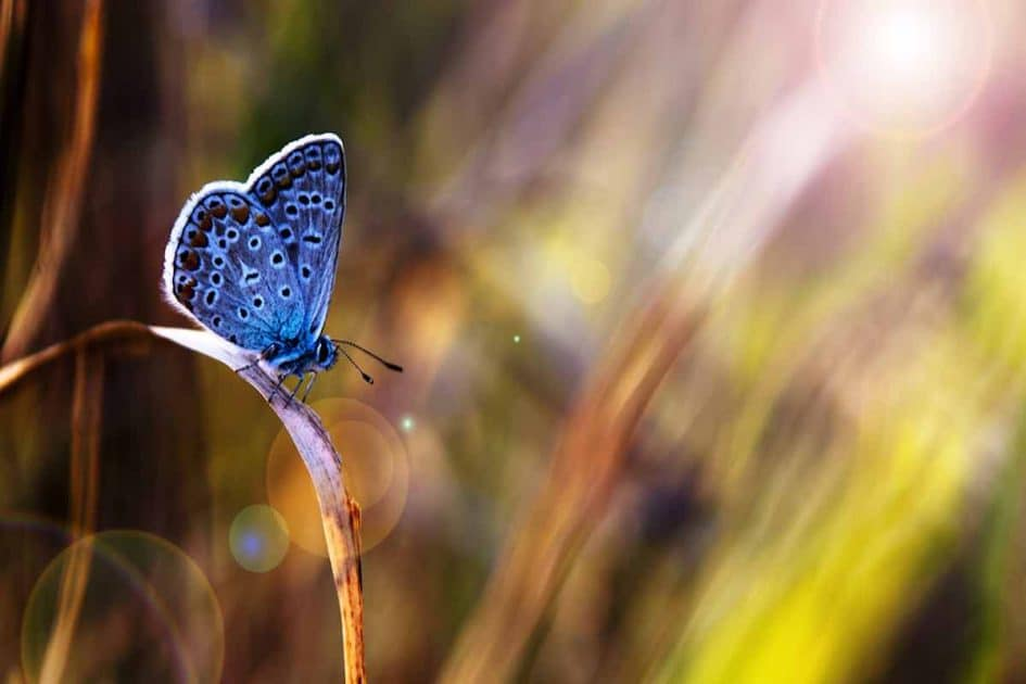 légende du papillon bleu